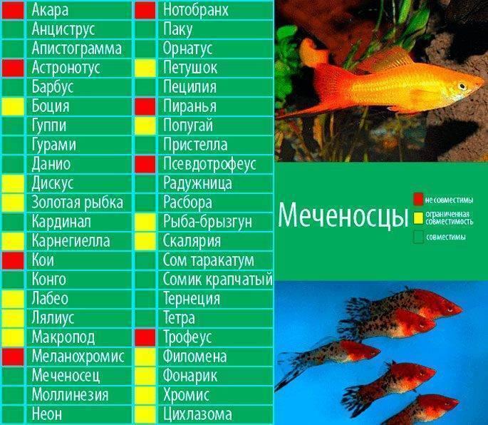 Красный паку: содержание, уход и совместимость хищной рыбы — пираньи