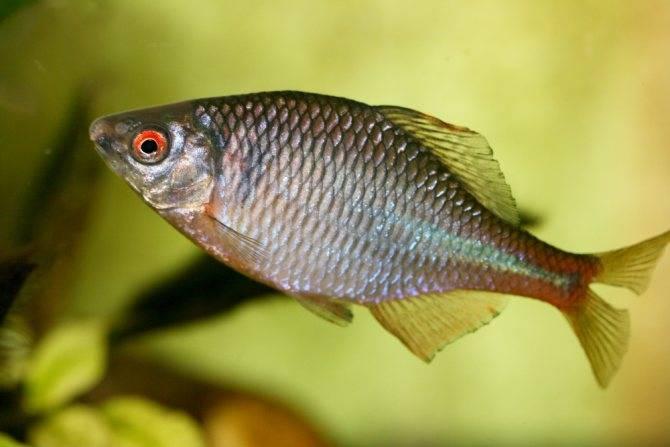 Пресноводная рыба горчак: описание и содержание