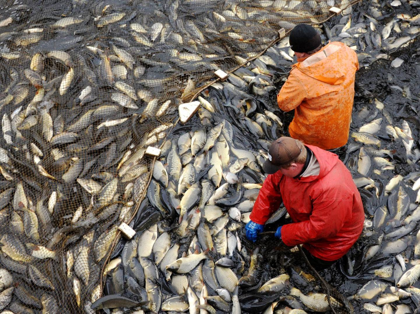 Самые большие пресноводные рыбы...