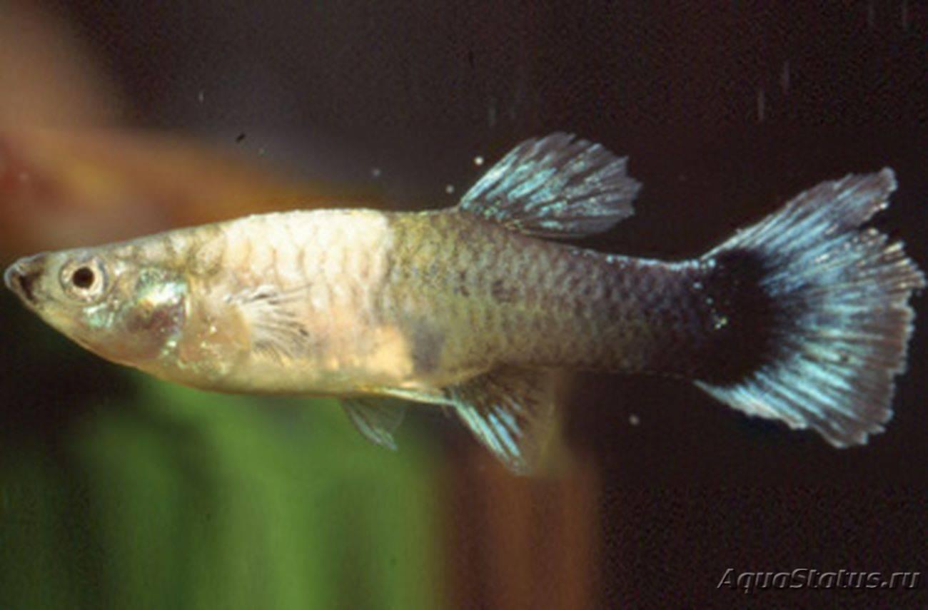 Белый налет на рыбках в аквариуме: лечение болезни и ее причины