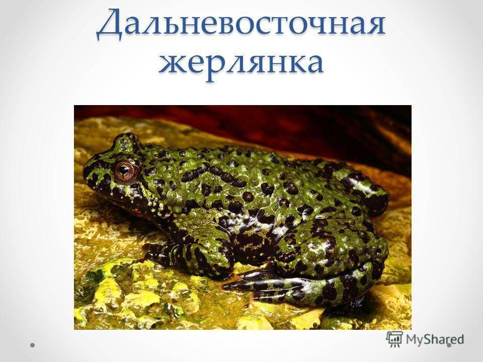Лягушка: строение, размножение, образ жизни, фото, видео