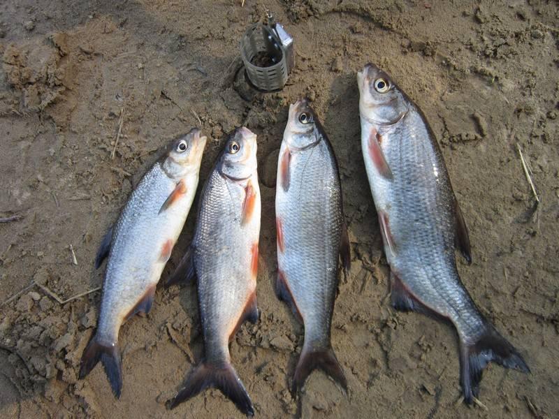 Ловля рыбца - на рыбалке!