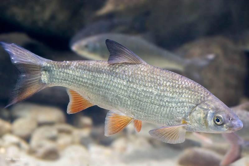 Рыба подуст обыкновенный