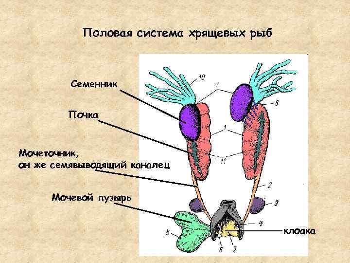 """Как размножаются рыбы. способы размножения рыб. статья отвечает на вопром """"как размножаются рыбы?"""" и описывает способы их размножения."""