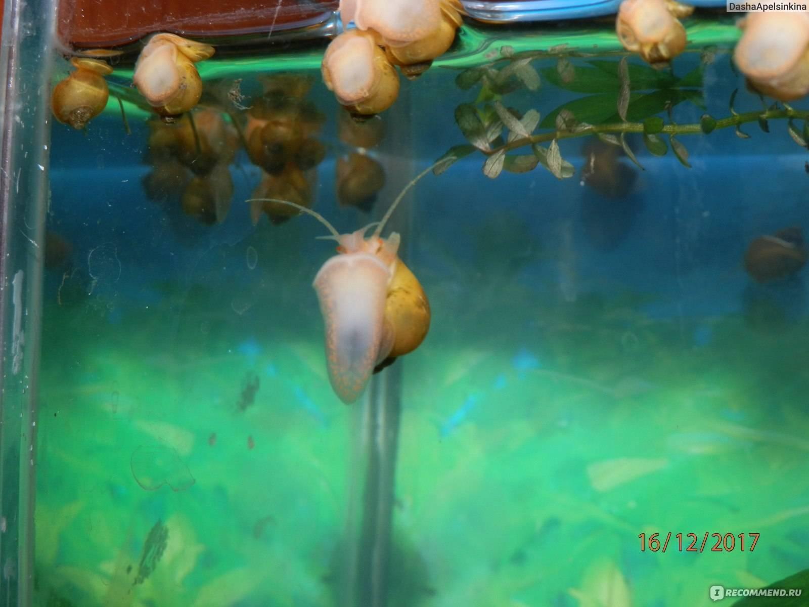 Аквариумная улитка ампулярия ее содержание и кормление, определение пола и размножение в аквариуме