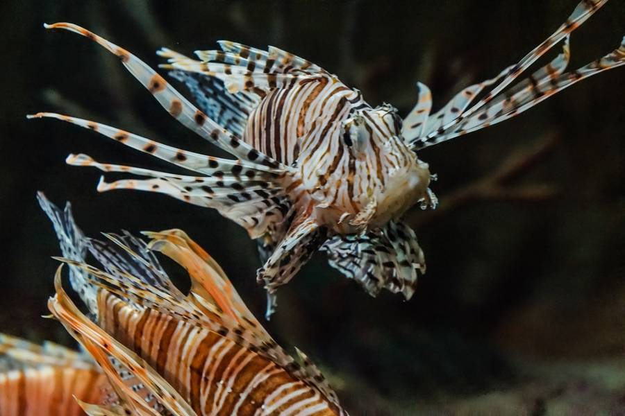 Рыба крылатка или аквариумная рыба-зебра (рыба-лев): описание, среда обитания, фото