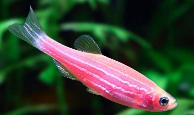 Разведение и размножение рыбок данио в домашних условиях