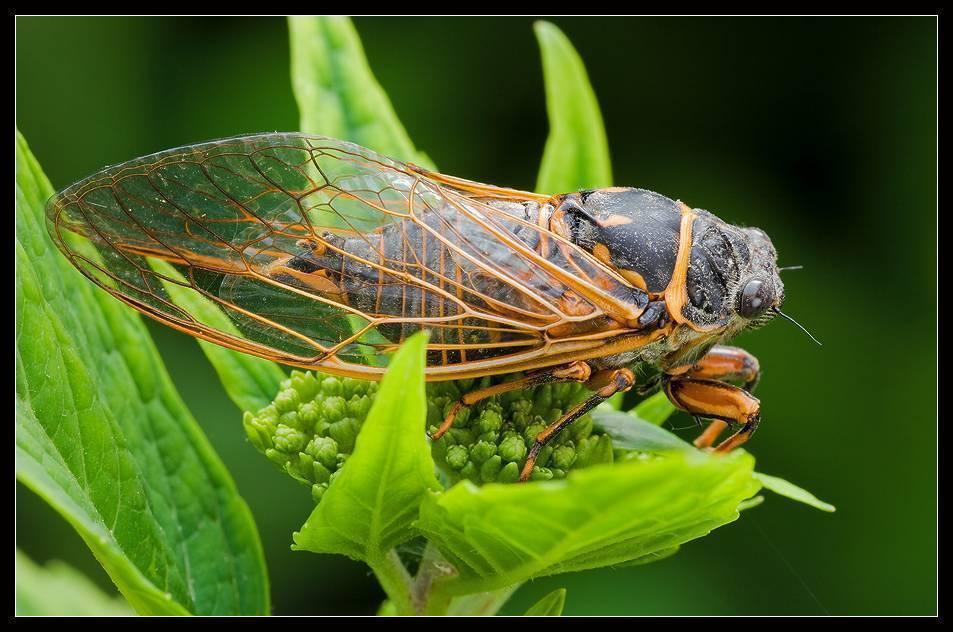 Особенности строения и поведения цикад. цикада насекомое. описание, особенности, виды, образ жизни и среда обитания цикады