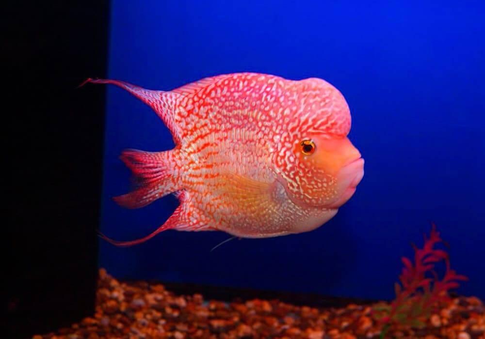 Аквариумная рыбка астронотус: с кем уживаются, содержание, виды