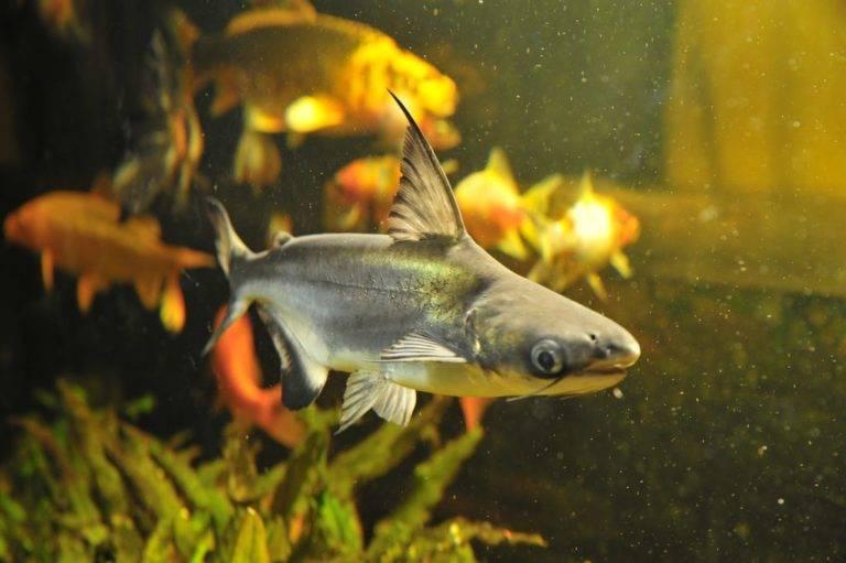 Акулий сом пангасиус: содержание, кормление, фото, видео