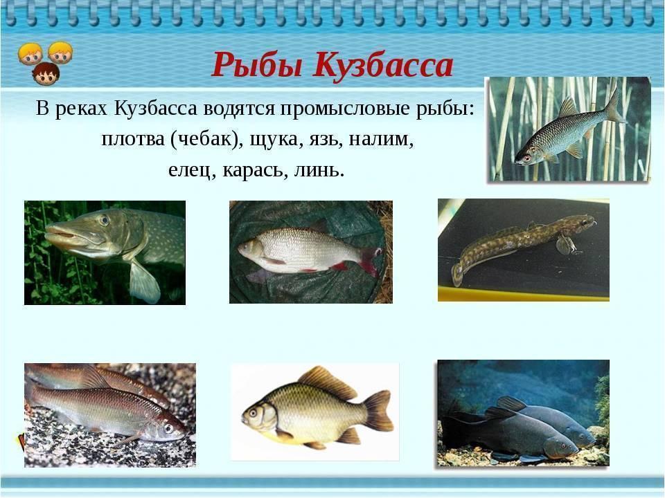 Презентация по окружающему миру «рыбы байкала»