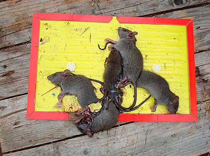 Как поймать мышь в доме без мышеловки, проверенные способы