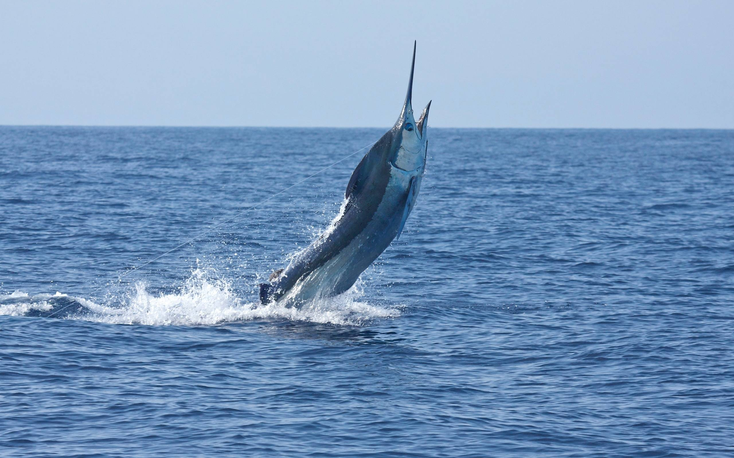 Рыба атлантический голубой марлин – мечта азартного рыбака