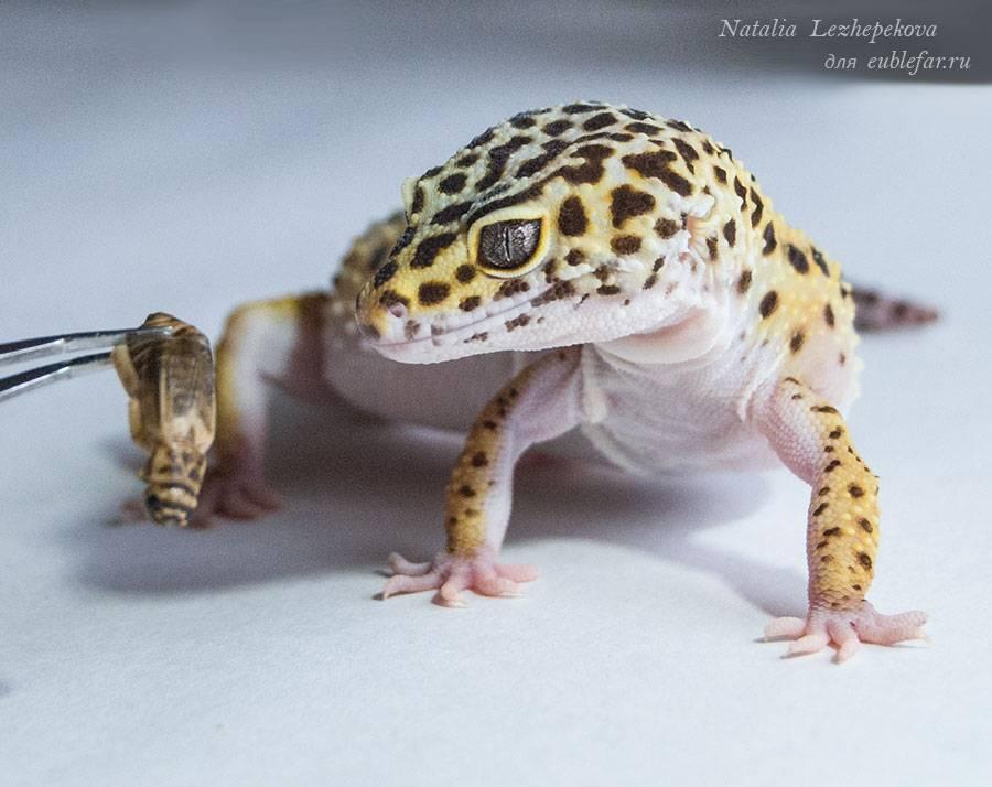 Леопардовый геккон: основные разновидности, содержание в домашних условиях, кормление и размножение