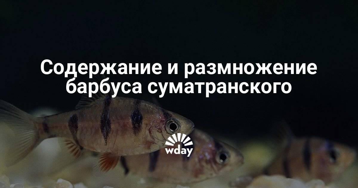 Виды аквариумных рыбок барбусов — название, описание, особенности каждого вида с фото
