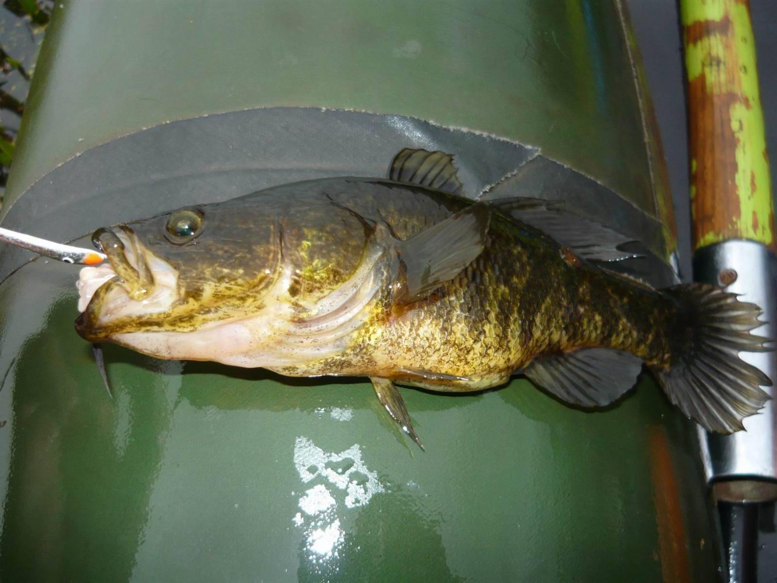 Что это за рыба ротан и как ее ловить? – суперулов – интернет-портал о рыбалке