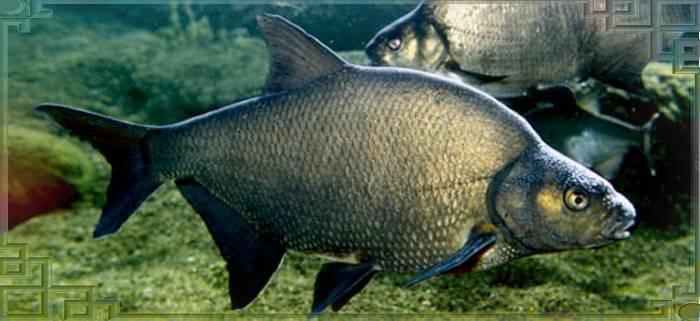 Рыба карп: как выглядит и где обитает