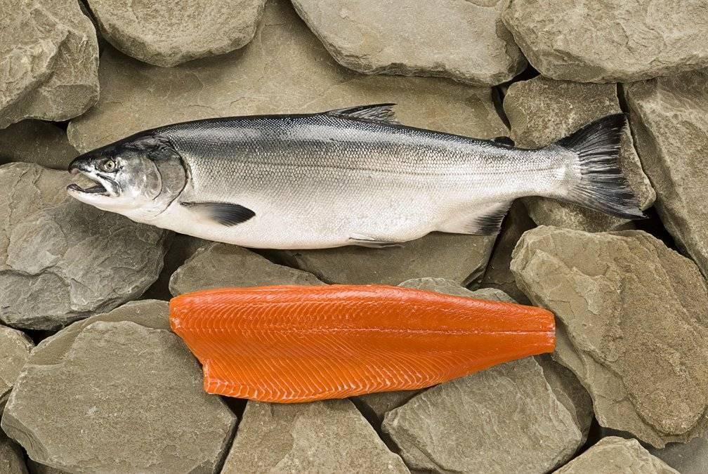 Кижуч: что за рыба, состав, калорийность, польза, вред, применение, противопоказания