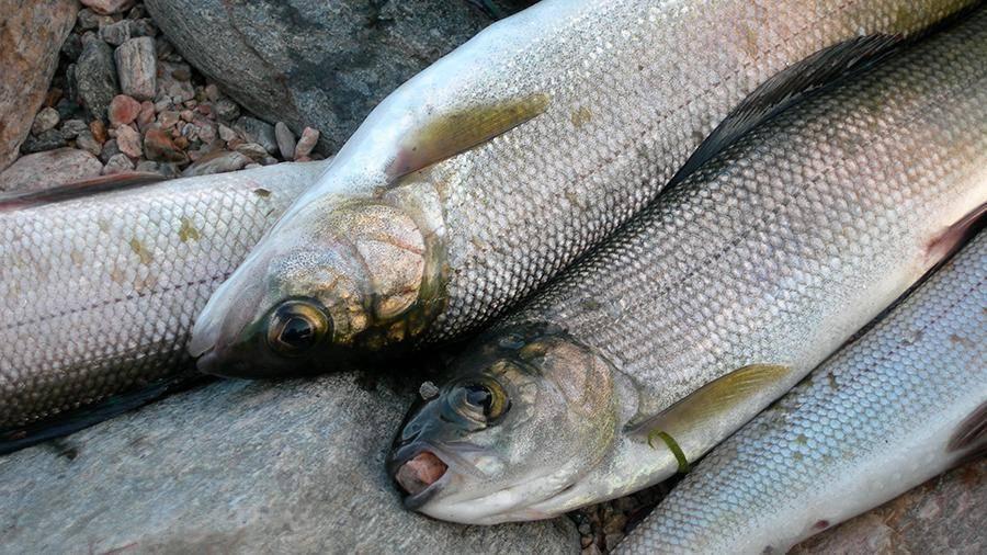 Чебак или плотва: тонкости ловли сибирской рыбы - рыбалка