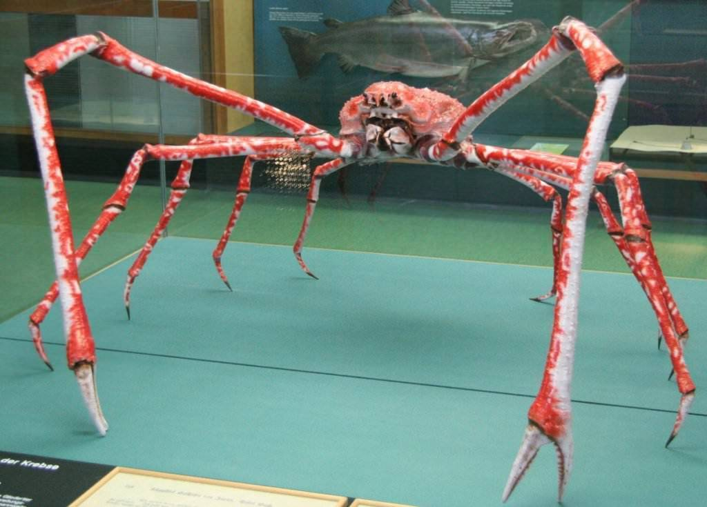 Гигантский японский краб паук   интересный сайт