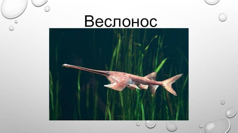 Вислоносая рыба осетровая