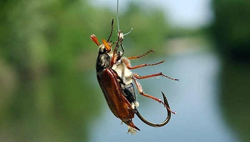Что едят майские жуки в домашних условиях: чем питаются личинки и взрослые хрущи, можно ли заводить жуков дома
