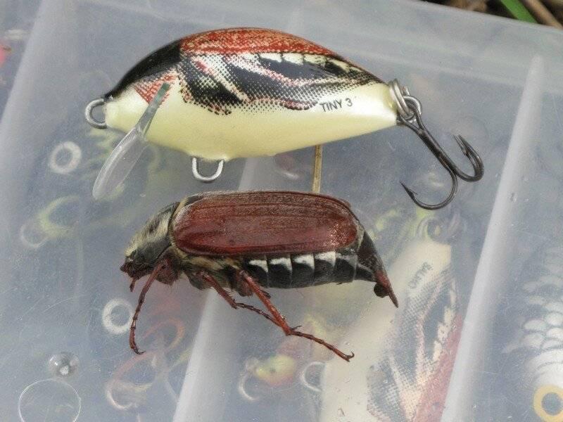 Как ловить голавля на майского жука?