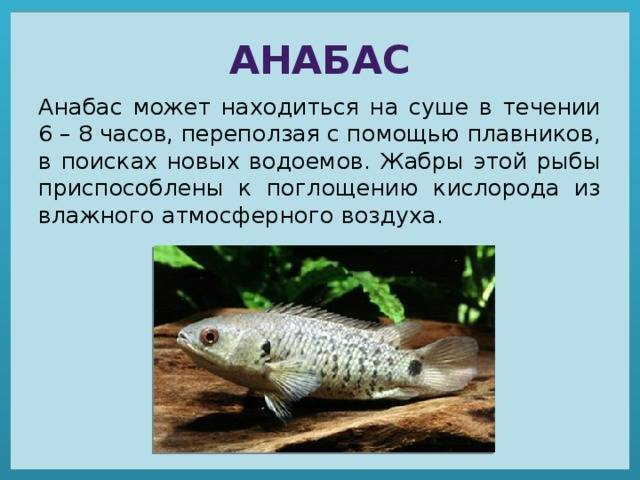 Анабас – рыба-ползун