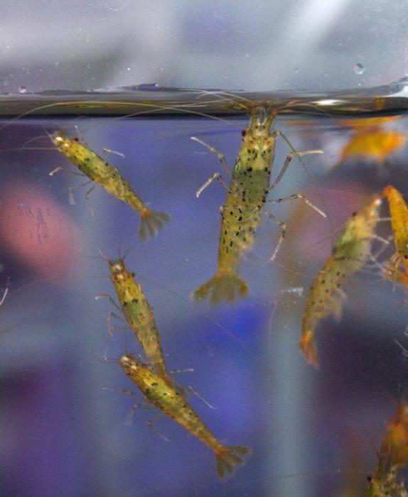 Аквариумные креветки: содержание, чем кормить, совместимость