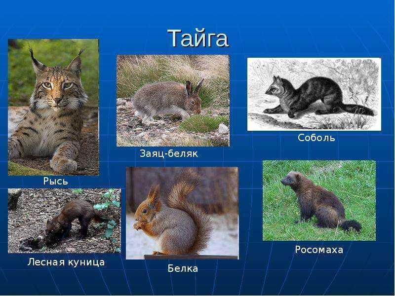 Какие животные и птицы обитают в тайге россии?