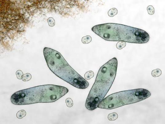 Инфузория туфелька, строение, как передвигается, размножение, чем питается, среда обитания, место образования пищеварительных вакуолей