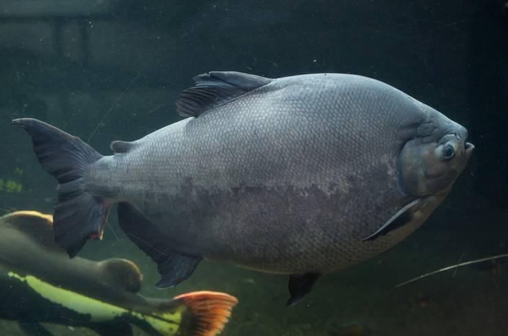 Барбус суматранский красный: содержание светящейся рыбки, фото гло, а также особенности размножения и описание возможных болезней