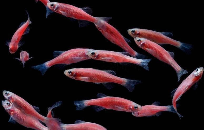 Данио рерио: что это, содержание и уход, совместимость, болезни, а также сколько живет и описание глофиш, розового, вуалевого, красного и других видов этой рыбки