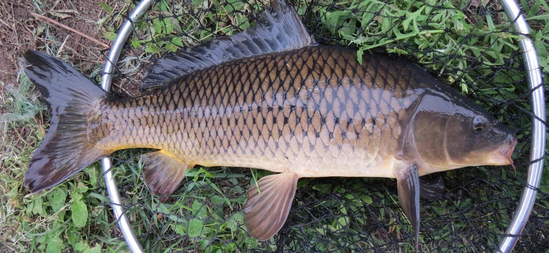 Рыба сазан: польза и вред для организма человека, калорийность на 100 грамм
