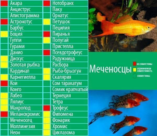 Акантофтальмус рыба. образ жизни, среда обитания и содержание в аквариуме акантофтальмуса | животный мир