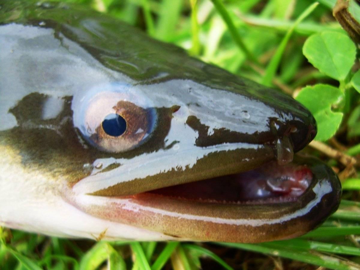 Угорь: разновидности и образ жизни рыбы