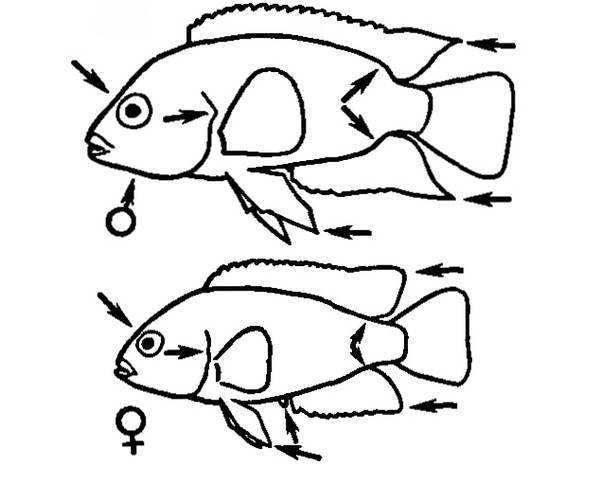 Чёрнополосая цихлазома размножение и содержание