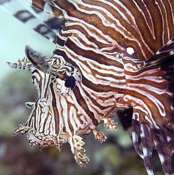 Лабео: виды, содержание рыбки, совместимость, разведение, фото