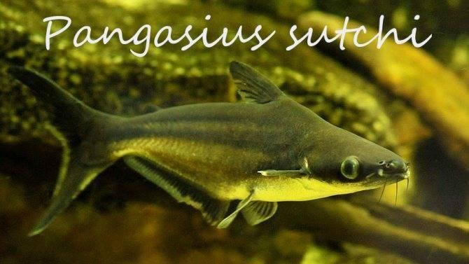 Акулий сомик-аквариумная рыбка