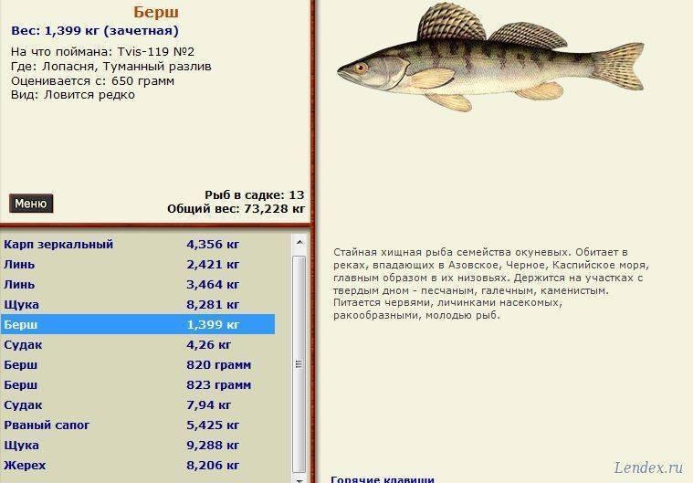 Берш рыба фото