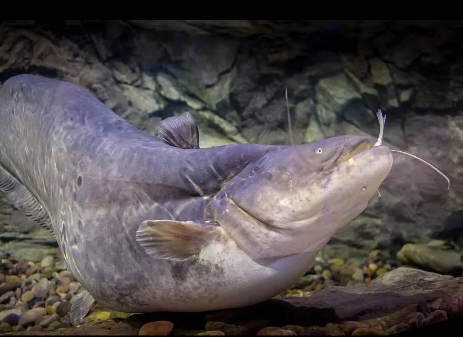 Сом. фото и описание. видео | рыбалка на сома