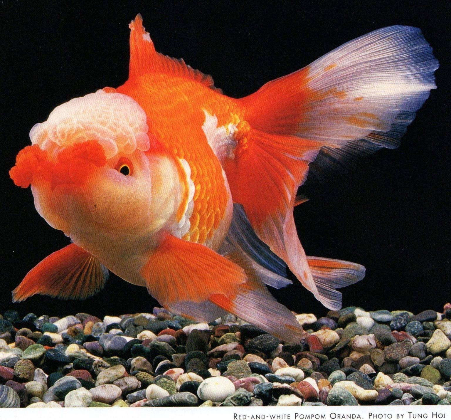 Красная шапочка — крупная и дружелюбная рыбка.