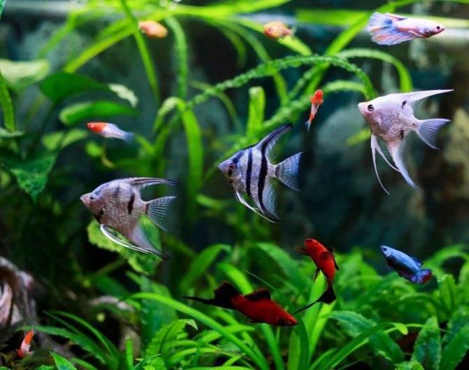Аквариумные рыбки виды совместимость в аквариуме таблица
