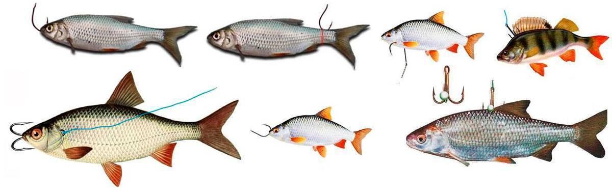 Как насадить живца на крючок при разных видах рыбной ловли? особенности выбора живца, его насадки и советы опытных рыболовов