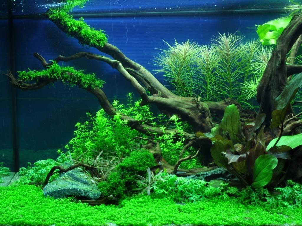 Хемиантус микрантемоидес: фото, содержание в аквариуме, уход хемиантус микрантемоидес: фото, содержание в аквариуме, уход