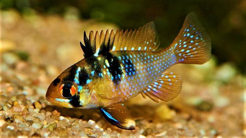 Апистограмма рыбка. описание, особенности, виды и уход за апистограммой   животный мир