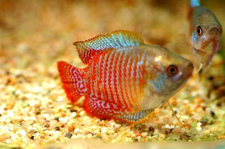 Рыбка лялиус: как содержать и ухаживать