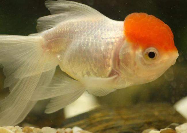 Правильный уход и содержание золотых рыбок