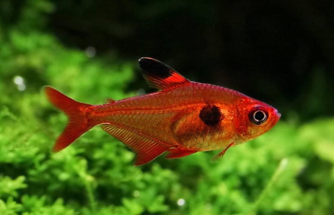 Рыбка минор (аквариумная): содержание тетры, совместимость, уход, нерест, фото, размножение, кормление