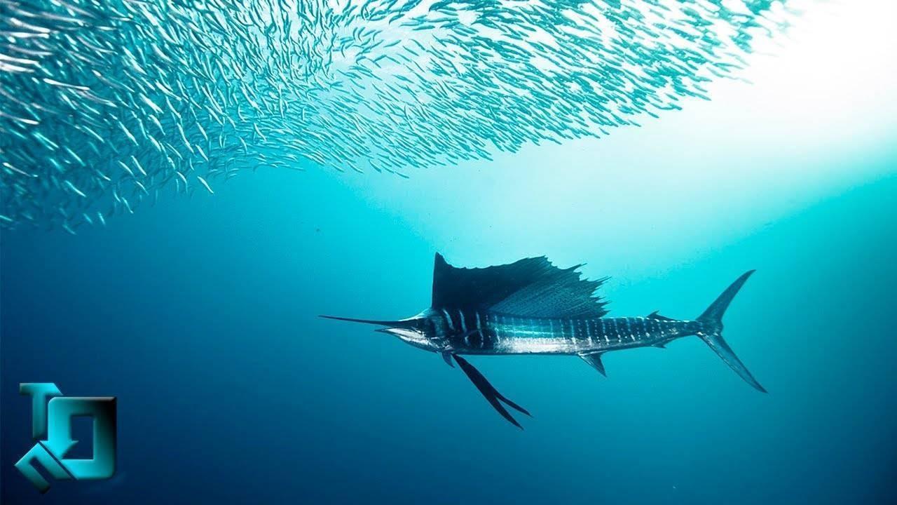 Какие рыбы самые быстрые в мире
